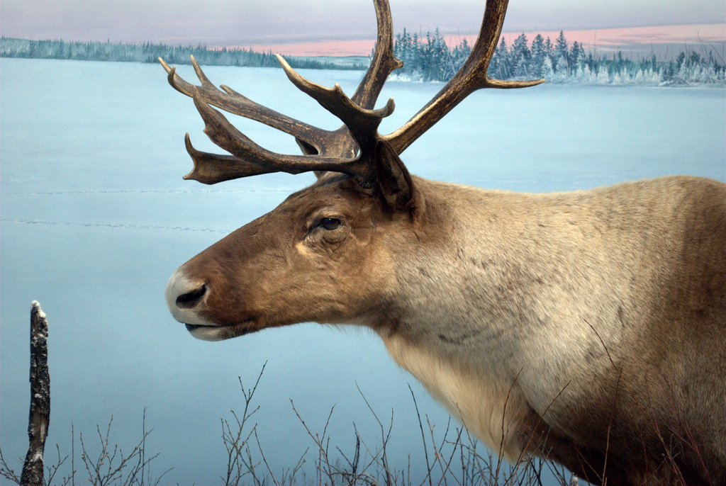 Caption: Woodland caribou, Credit: Just A Prairie Boy on Flickr