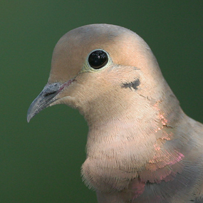 Caption: Mourning Dove, Credit: Tom Grey