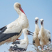 Caption: White Stork Family, Credit: Chuck Courson