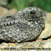 Caption: Common Poorwill, Credit: Brian Currie