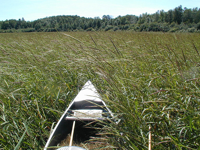 Caption: A canoe makes its way through a wild rice bed., Credit: Eli Sagor, flickr.com/creative commons