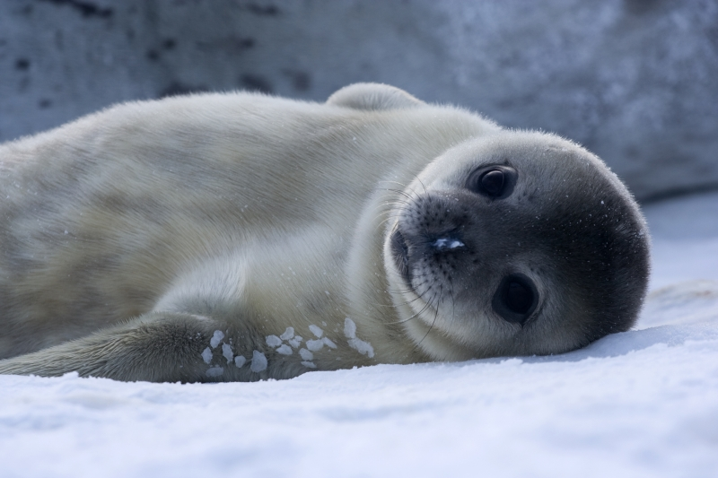 Caption: baby Weddell seal, Credit: Samuel Blanc, Wikimedia Commons