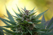 Caption: A marijuana plant ready for harvest, Credit: Martijn/Flickr