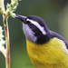 Caption: Bananaquit, Credit: Brendan Ryan