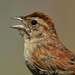 Caption: Bachman's Sparrow, Credit: J Fischer