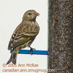 Caption: Pinie Siskin, Credit: Ann McRae
