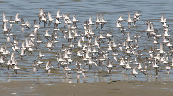 Caption: A flock of sand pipers fly in unison, Credit: Liquidcrash/Flickr
