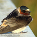 Caption: Cliff Swallow, Credit: Maggie Smith