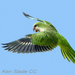 Caption: Monk Parakeet, Credit: Ken Slade
