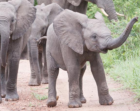 Caption: Baby elephants walk with their herd., Credit: Karen Corby/Flickr