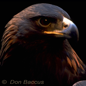 Golden-eagle-don-baccus-285_small
