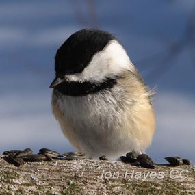 Caption: Black-capped Chickadee, Credit: Jon Hayes