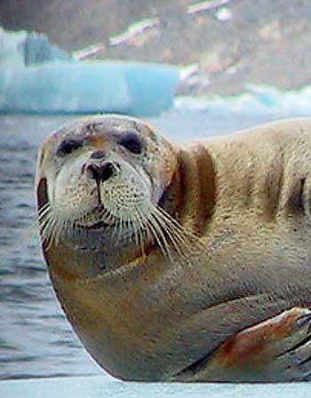Caption: Bearded seal, Erignathus barbatus, Alaskan Arctic  , Credit: Marine Bio | Sharing The Wonders of the Ocean