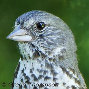 Caption: Fox Sparrow