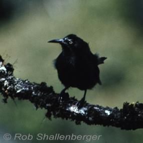 Kauai-oo-rob-shallenberger-285_small