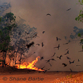Black-kites-and-fire-shane-bartie-285_small