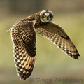 Wing-clapping-short-eared-owl-greggt-285_small