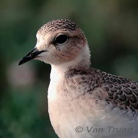 Mountain-plover-serengeti-van-truan-285_small