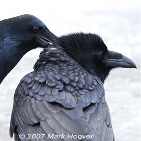 Ravens-love-song-mark-hoover-285_small