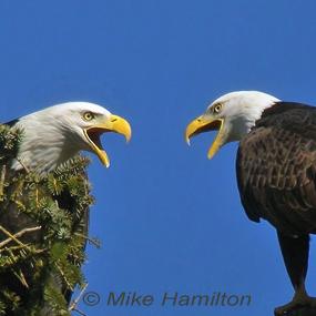 Bald-eagle-pair-mating-life-mikeh-285_small