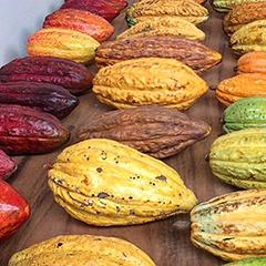Caption: Cacao