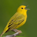 Caption: Yellow Warbler, Credit: Danielle T