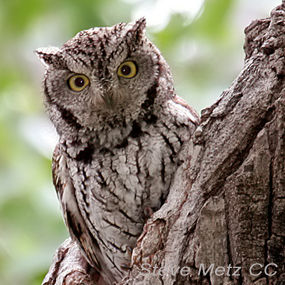 Equinox-western-screech-owl-steve-metz-285_small