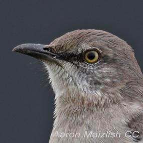 Northern-mockingbird-aaron-maizlish-285_small