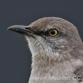 Caption: Northern Mockingbird, Credit: Aaron Maizlish