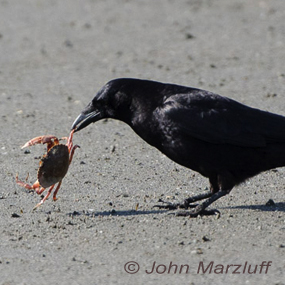 Caption: Crow with Crab, Credit: John Marzluff