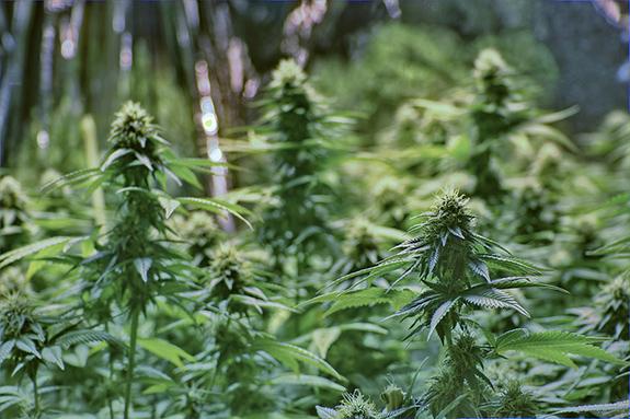 Caption: A photo shows a medium tight shot of the tops of growing marijuana plants., Credit: Mark/Flickr