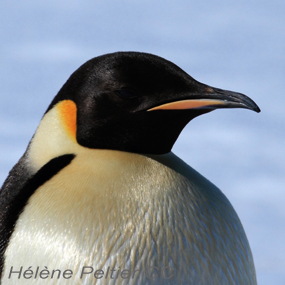 Caption: Emperor Penguin, Credit: Helene Peltier