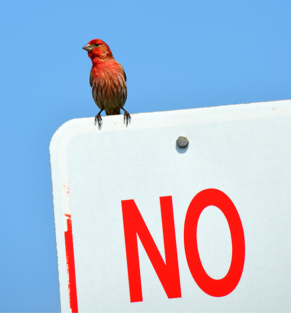 Caption: A red house finch sits on top of a parking sign that only shows the word 'no'., Credit: InAweOfGod'sCreation/Flickr