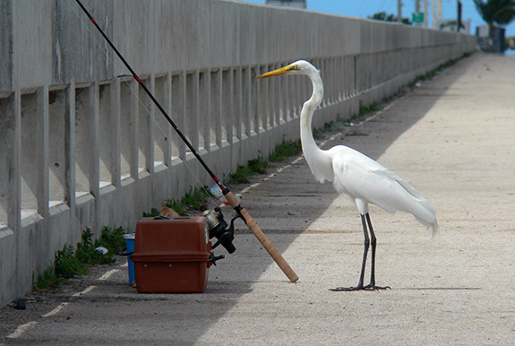 Caption: A tall white long-legged yellow-billed bird stands behind an unattended fishing pole as if it were the angler., Credit: Stig Nygaard/Flickr