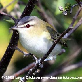 Red-eyed-vireo-howmuch-laura-erickson-285_small