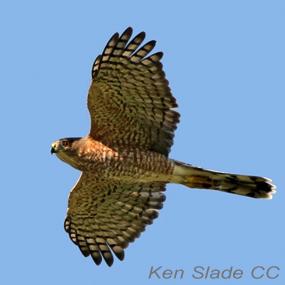 Caption: Cooper's Hawk, Credit: Ken Slade