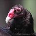 Caption: Turkey Vulture, Credit: Pat Gaines