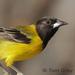 Caption: Audubon's Oriole, Credit: Tom Grey