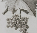 Cropped-grapes-neville_small