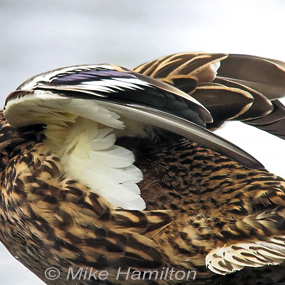 Caption: Mallard Wings, Credit: Mike Hamilton