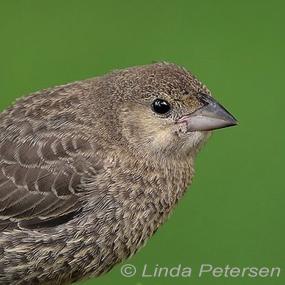 Brown-headed-cowbird-linda-petersen-285_small