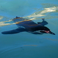 Flightless-helen-humboldt-penguin-haden-fcc-285_small