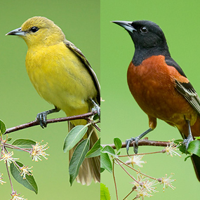 Caption: Orchard Orioles
