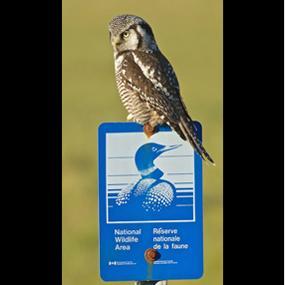Caption: Northern Hawk Owl