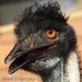 Caption: Emu, Credit: Matt Francey