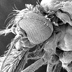 Caption: Mosquito micrograph