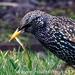 Caption: European Starling, Credit: Wayne Hodgkinson