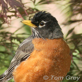 Caption: American Robin, Credit: Tom Grey