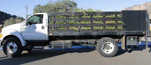 Caption: A large white industrial truck holds a layered stack of seized outdoor marijuana plants while awaiting a trip to the incinerator. , Credit: Sequoia and Kings Canyon National Parks/Flickr