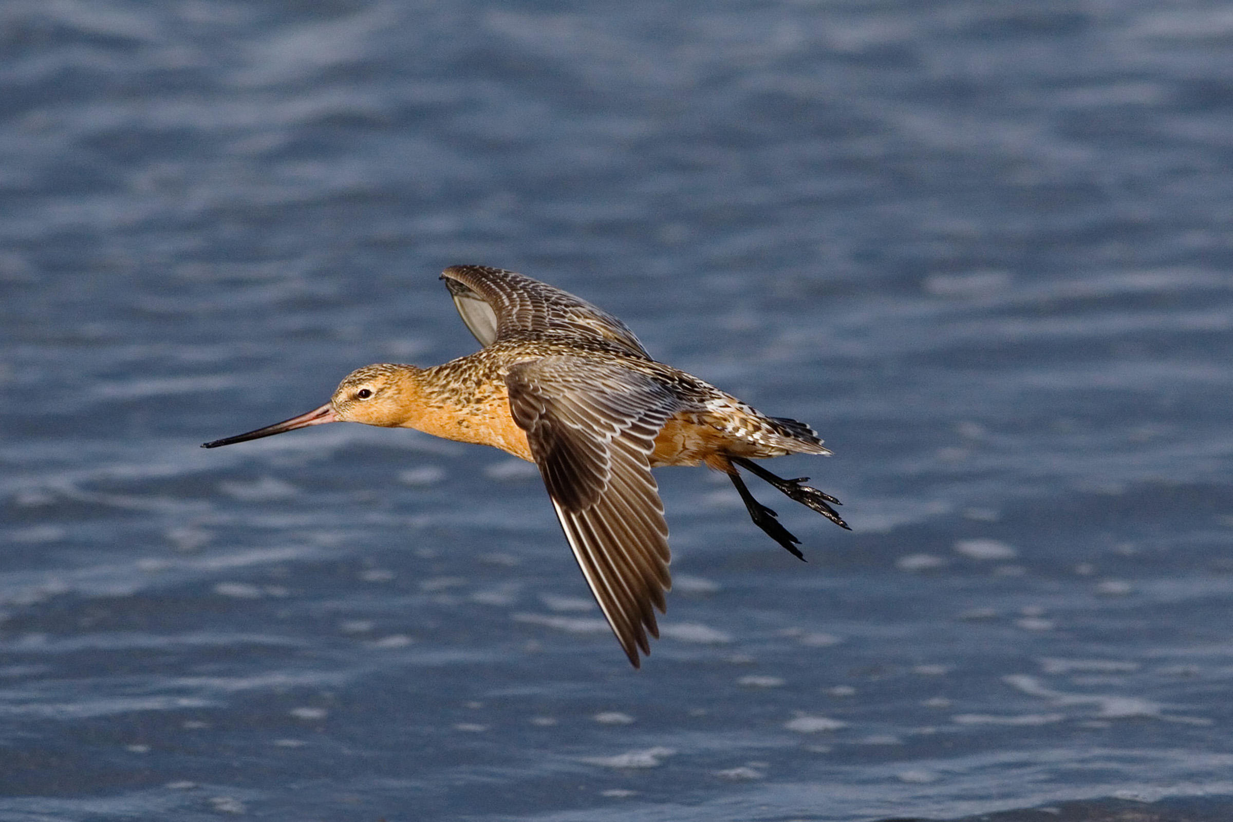 Caption: Bar Tailed Godwit